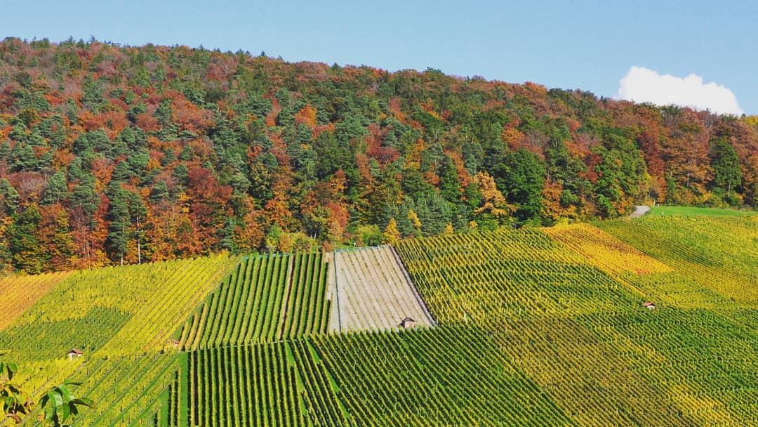Blick über die herbstlichen Weinberge bei der Remstalkellerei.