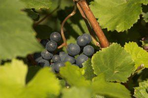 Bild von Weintrauben der Weingärtner Stromberg-Zabergäu.