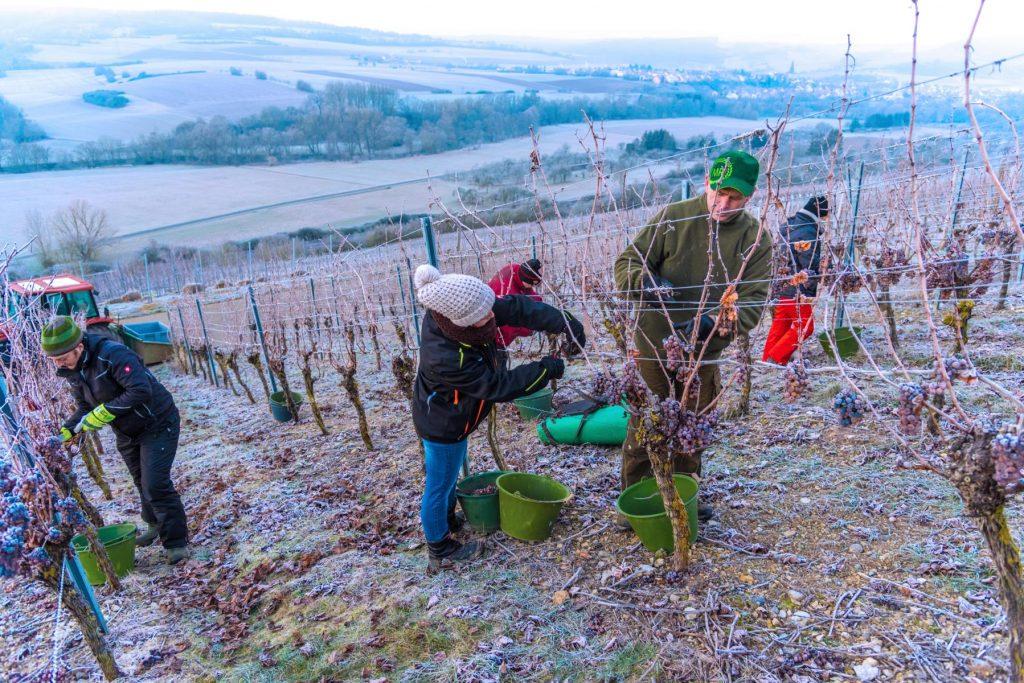 Man sieht mehrere Helfer bei der Eisweinlese 2019 der Weingärtner Markelsheim, im Morgengrauen