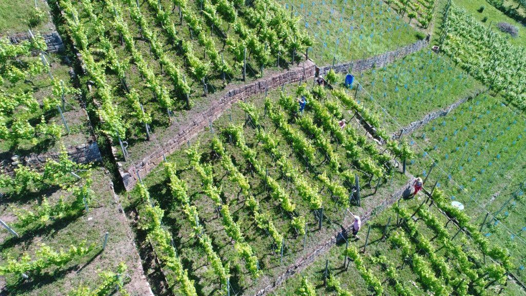 Man sieht Weingärtner bei der Pflege ihrer Rebanlagen