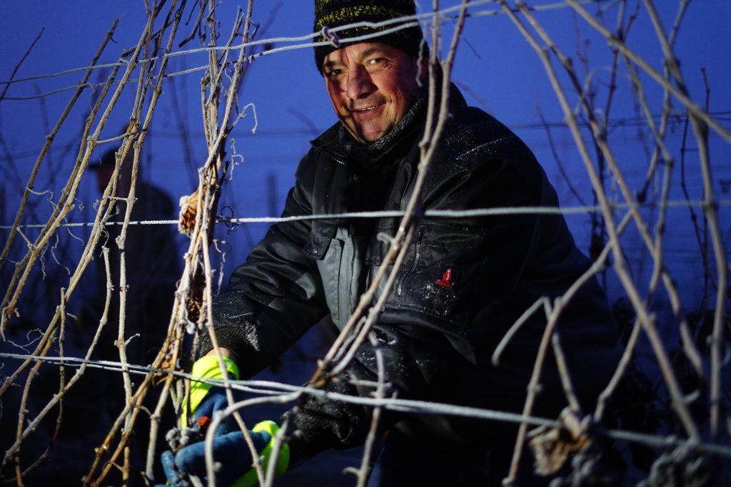 Ein fleißiger Helfer bei der Eisweinlese der Heuchelberg Weingärtner