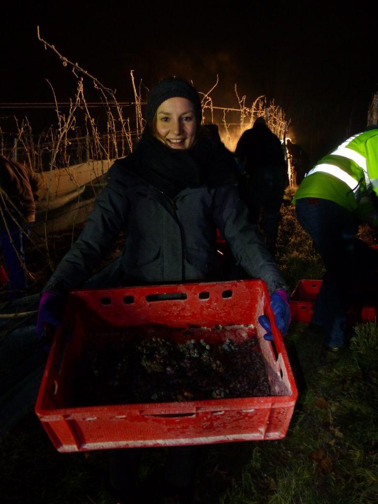 Die Hohenloher Weinkönigin Kim-Philin Pfisterer bei der Eiswein-Lese 2019