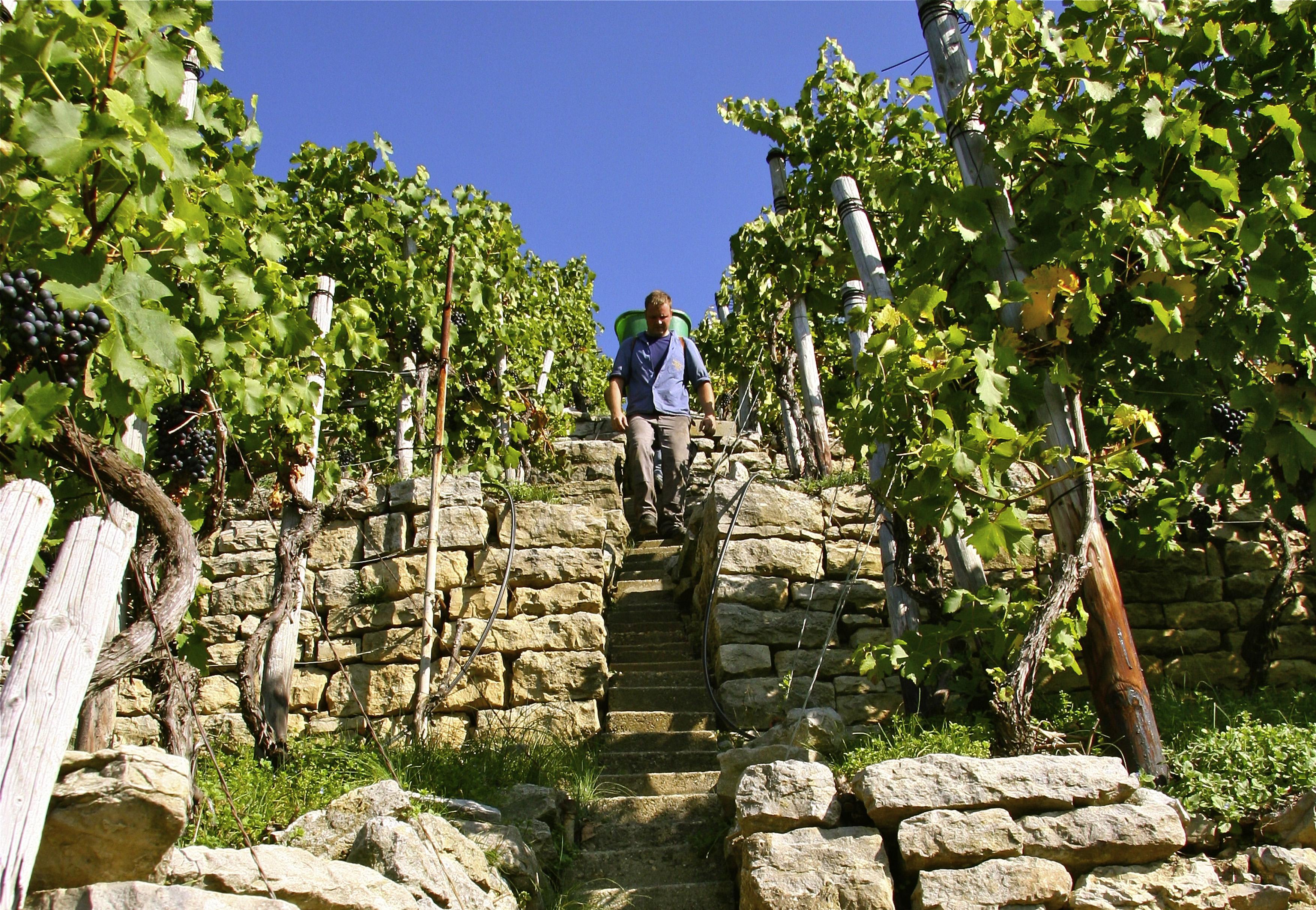 Ein Weingärtner läuft Weinbergstäffele runter