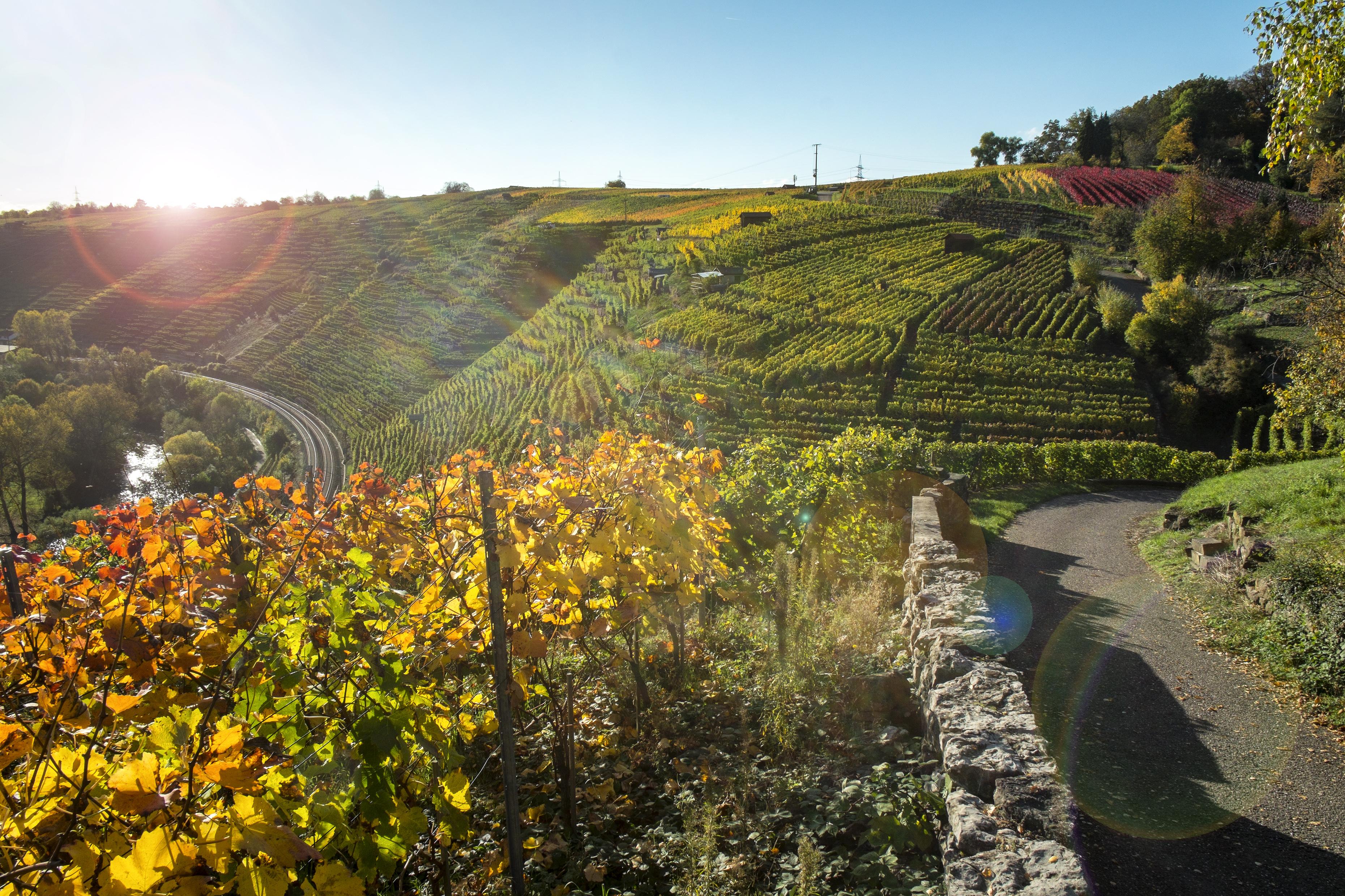 In den Steillagen bei Besigheim und Hessigheim kann man auch wunderschön spazierengehen.