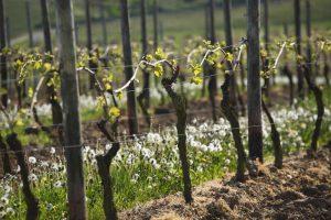 Weinberge im Fühling nach der Bodenbearbeitung