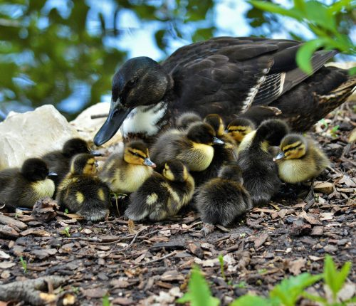 Enten im Wildpark