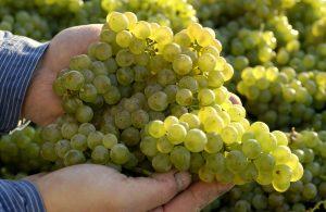Trauben bei der Weinlese
