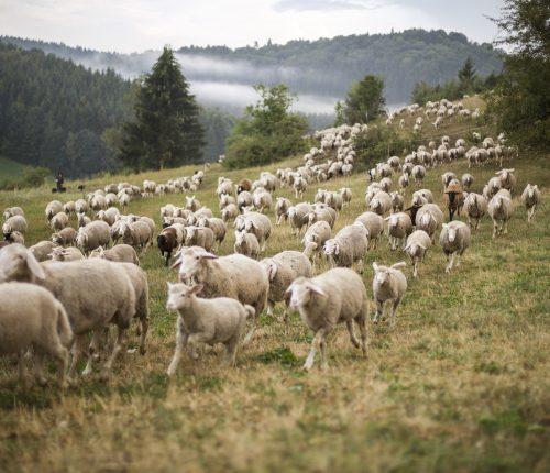 Man sieht Schafe über eine Wiese rennen.