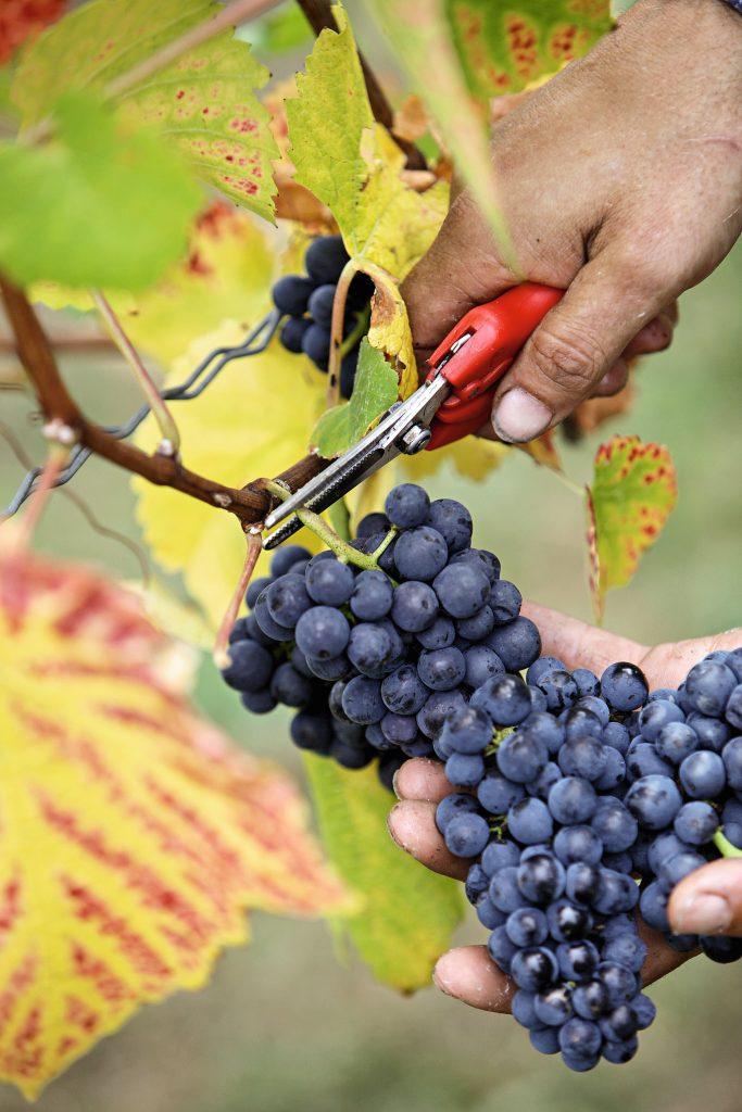 Rote Trauben bei der Ernte