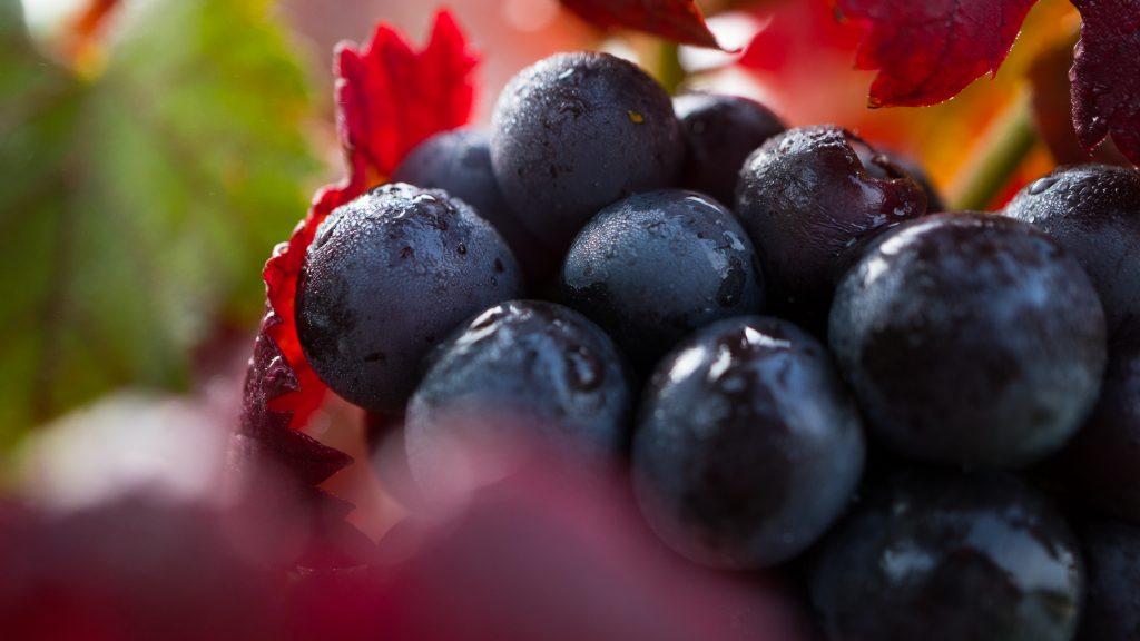 Lemberger Trauben im Herbst