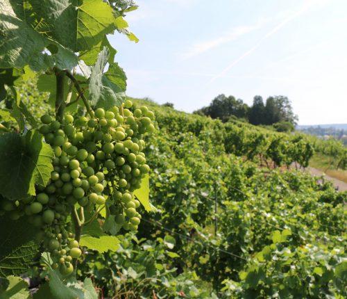 Der Weinjahrgang 2019