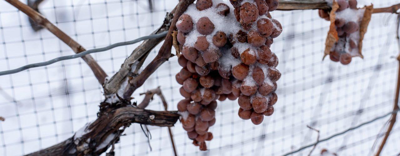 Gefrorene Trauben bei der Eiswein Ernte