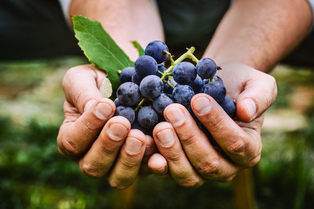 Hände die blaue Weintrauben halten