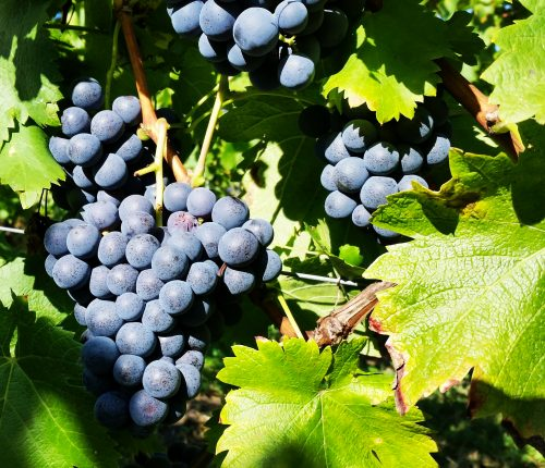 Foto des Monats September zeigt blaue, reife Trauben in einer Nahaufnahme