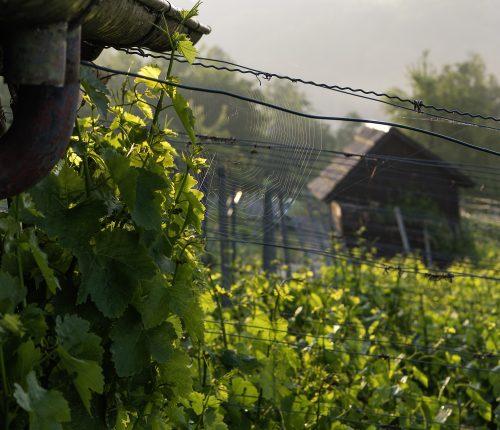 Foto des Monats Dezember zeigt grünes Rebenlaub im Vordergrund mit einem Wengertshäusle im Hintergrund
