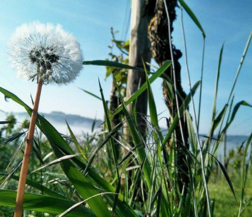 Foto des Monats Mai zeigt eine Pusteblume im Gras und die Reben und einen blauen Himmel im Hintergrund