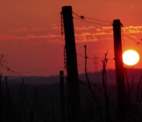 Foto des Monats Februar zeigt einen rötlichen Abendhimmel mit untergehender Sonne, die zwischen den Reben hervorlugt,