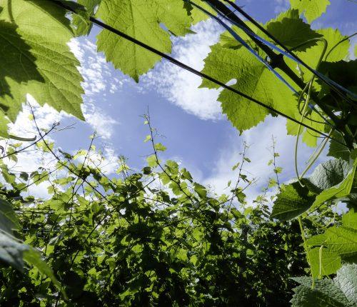 Foto des Monats Juli zeigt einen Blick durch die grünbelaubten Reben zum blauen Himmel