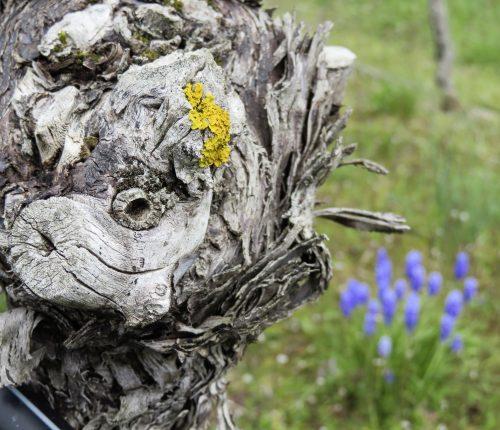 Foto des Monats April zeigt einen Rebstock, dessen Holz eine Art Gesicht erkennen lässt.