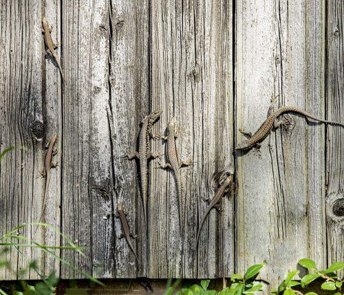 Foto des Monats Oktober zeigt die Holzwand eines Weinberghauses, auf dem sich einige Eidechsen tummeln.
