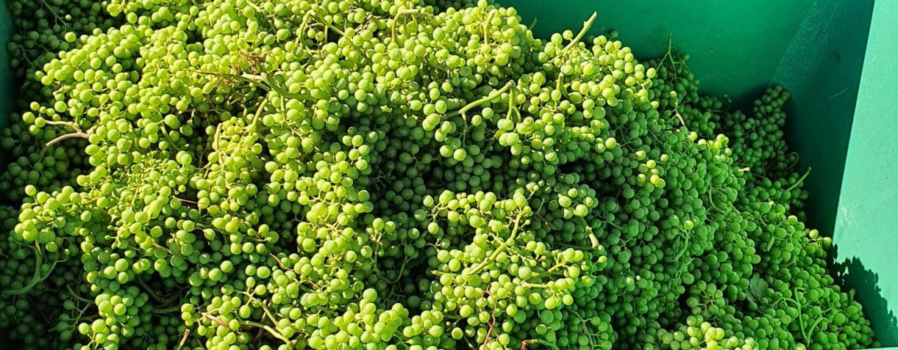 Unreife Trauben, die zu Verjus verarbeitet werden.