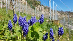 Weinfrühling in der Lembergerland Kellerei